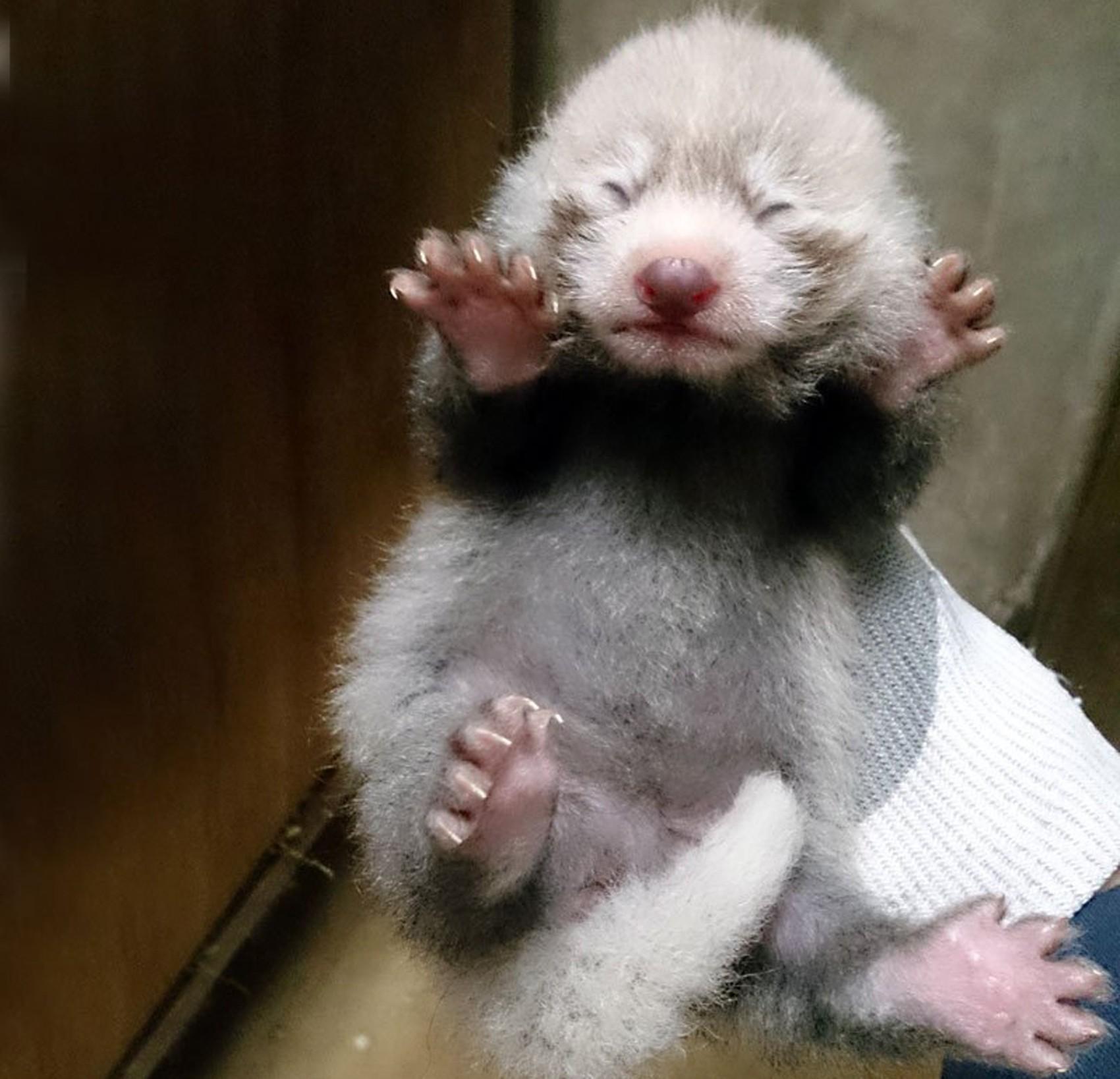 Panda-vermelho nasceu no Zoológico de Tama, no Japão, em 24 de junho (Foto: Reprodução/Twitter/TokyoZooNet)