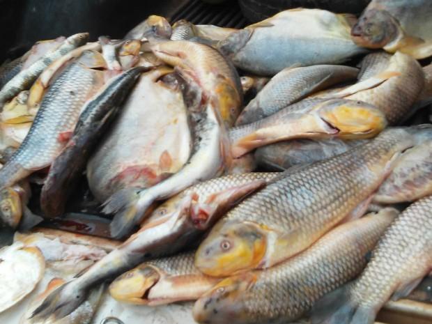Pescado apreendido pela PMA na operação Piracema 2014/2015 em Mato Grosso do Sul (Foto: Divulgação/PMA)