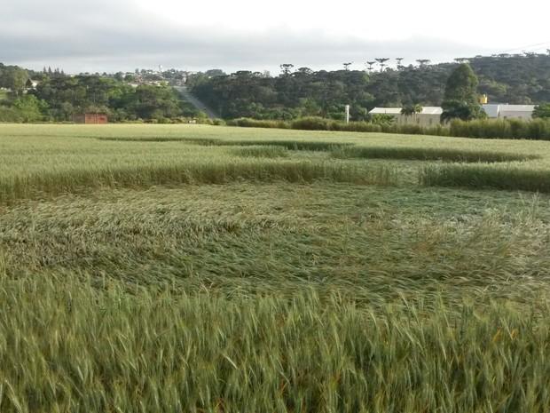 Plantação fica em Prudentópolis, no Paraná (Foto: Tito Santini/Arquivo Pessoal)