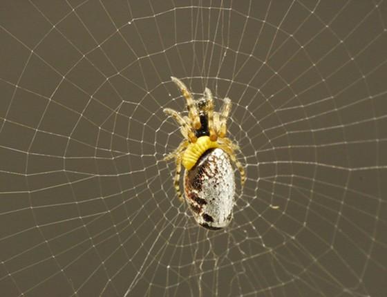 Como uma vespa japonesa força aranhas zumbi a construir casulos para suas larvas