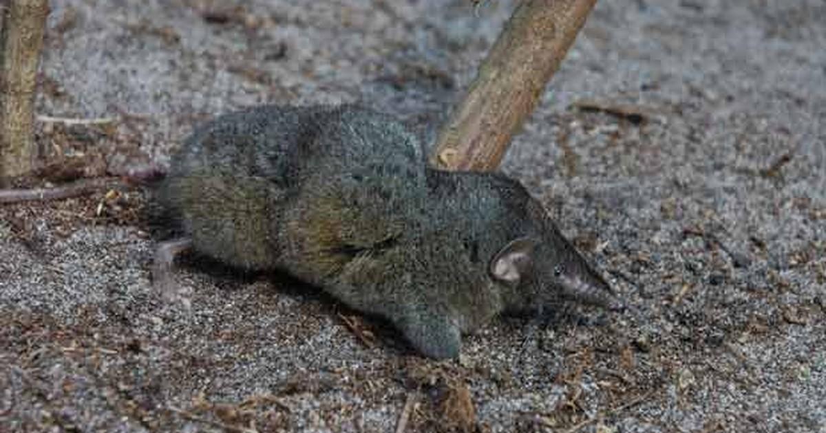Descoberta na África nova espécie de mamífero com coluna incomum