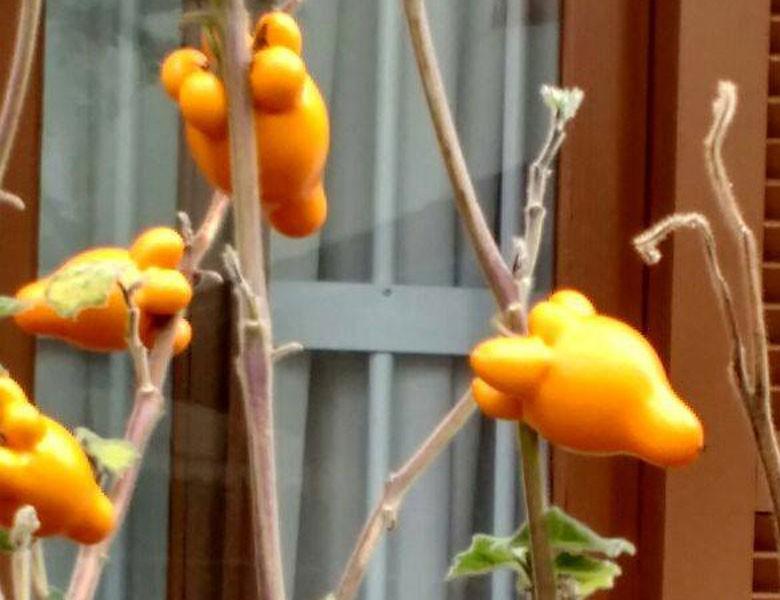 planta-Solanaceae-teta de vaca (Foto: Juliane Pacheco/Arquivo pessoal)
