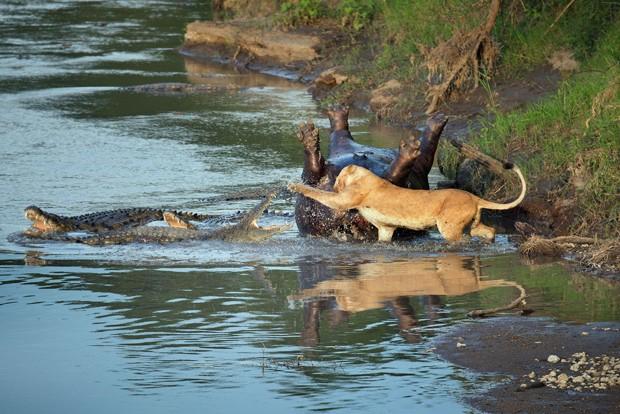 Leoa enfrenta vários crocodilos ao disputar carne de hipopótamo morto em reserva no Quênia. (Foto: Richard Chew/Caters News/The Grosby Group)