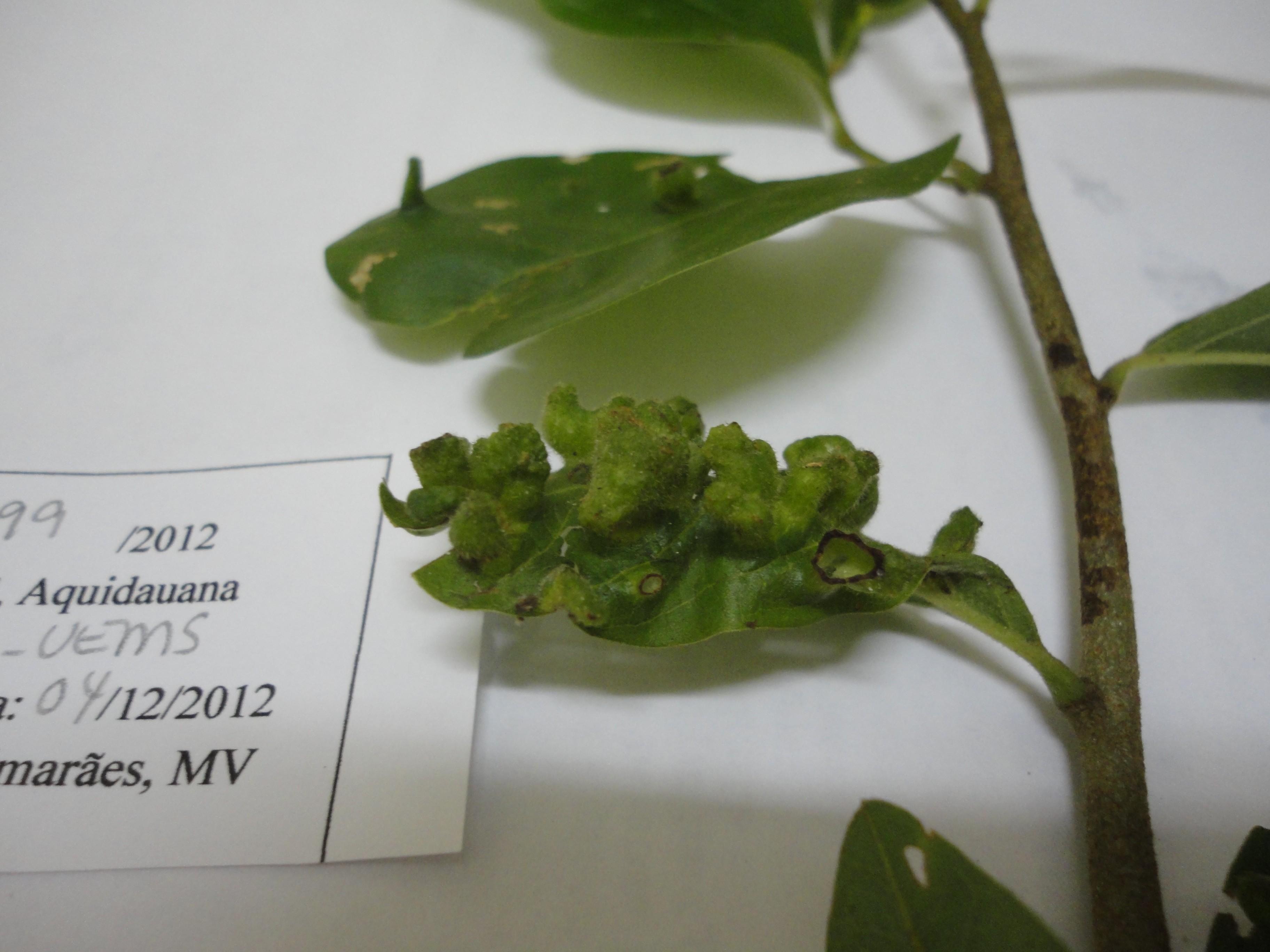 Galhas foliares coletadas no Mato Grosso do Sul em 2012, durante expedição do projeto Sisbiota-Diptera. Material ainda sem identificação (Foto: Divulgação/Maria Virginia Urso-Guimarães)
