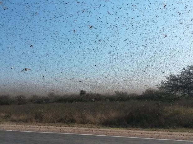 Cerca de 700 mil hectares já foram afetados pelos insetos, a maioria coberto por pasto (Foto: BBC/CRA)