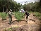 Polícia destrói 100 mil pés de maconha em reservas indígenas, no PA