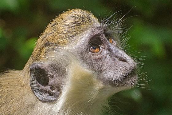Macaco-verde em Barbados (Foto: © Haroldo Castro/Época)