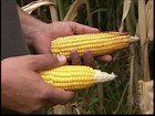 Seca compromete desenvolvimento final das lavouras de milho de MG