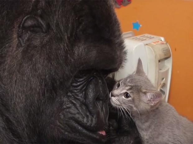 A gorila Koko brinca com um dos gatinhos que ganhou em seu aniversário (Foto: Reprodução/Youtube/Kokoflix)