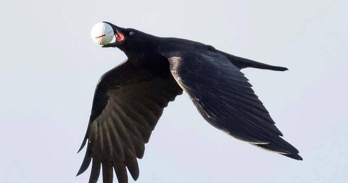 Veja ave que confundiu bola de golfe com ovo e mais bizarrices animais