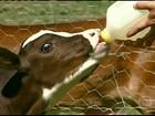 Apresentado, em MG, primeiro clone brasileiro de uma vaca holandesa