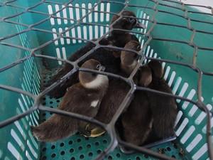 Patos foram apreendidos em caixa plástica (Foto: PRF/Divulgação)