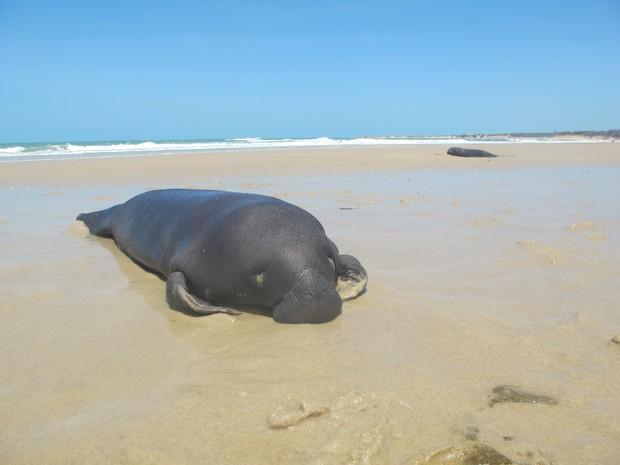 Filhotes estavam encalhados na praia de Pontal do Maceió, no litoral leste do Ceará (Foto: Aquasis/Divulgação)