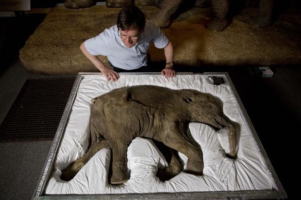 O pesquisador Adrian Lister, observa o corpo de Lyuba, um exemplar de mamute de um mês que viveu no planeta há 42 mil anos (Foto: Matt Dunham/AP)