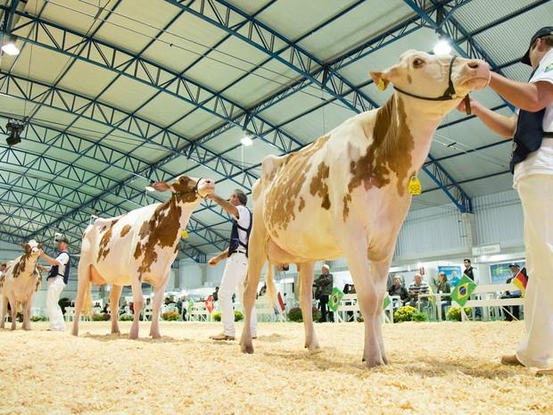 Vacas holandesas desfilam em julgamento da raça na 10ª Expofrísia (Foto: Raul Voorsluys/Assessoria de Imprensa)