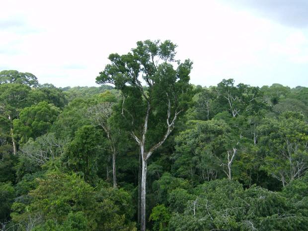 Árvore antiga é vista na Floresta Nacional do Tapajós; estudo da Nasa conclui que floresta amazônica absorve mais CO2 do que emite (Foto: NASA/JPL-Caltech)