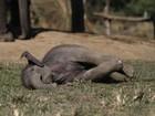 Bebê elefante com 16 dias de vida brinca em reserva selvagem do Nepal