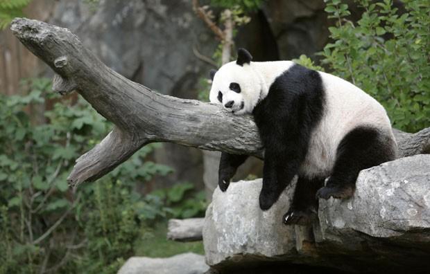 Panda Mei Xiang tira soneca no zoológico de Washington. (Foto: Kevin Lamarque/Reuters)
