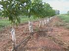 1º censo da laranja vai ajudar indústria de suco e produtores, diz Fundecitrus