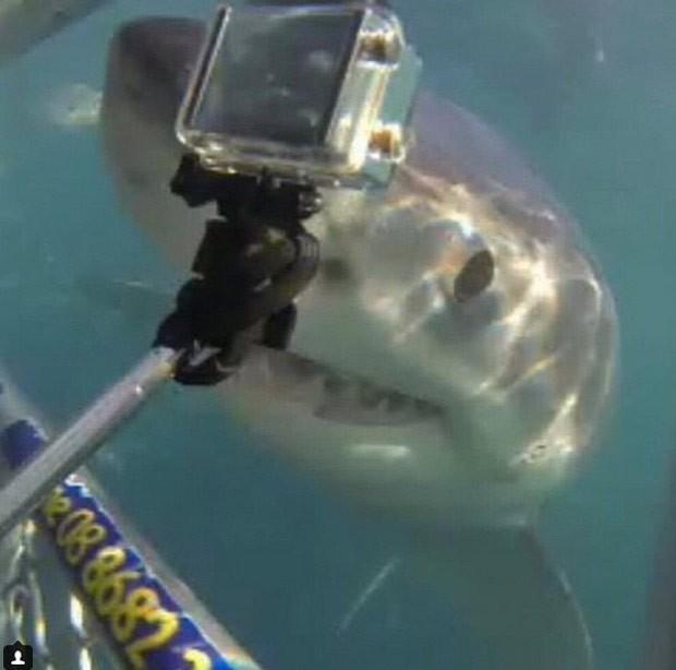 Tubarão branco que parece posar para foto faz sucesso na web (Foto: Reprodução/ Instagram/Calypsostarcharters)