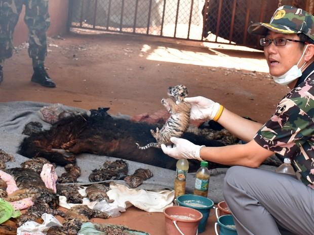 Autoridades suspeitam que tigres seriam alvo de tráfico (Foto: Reuters)