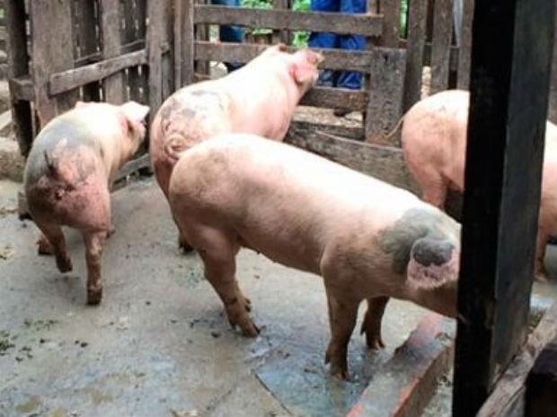 Porcos resgatados de abatedouro são levados para santuário em São Roque (Foto: Reprodução/ Vista-se)