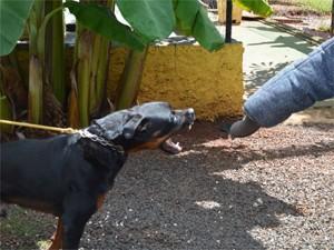 Rottweiler Fera foi reabilitado e atualmente é alugado para guardar obras (Foto: Fausto Daniel)