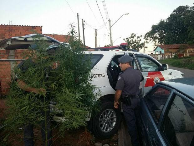 Pés de maconha tinham cerca de 1,80 metros de altura (Foto: Divulgação/ Polícia Militar)