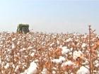 Qualidade da fibra do algodão na safra 2014/15 anima agricultores de MT