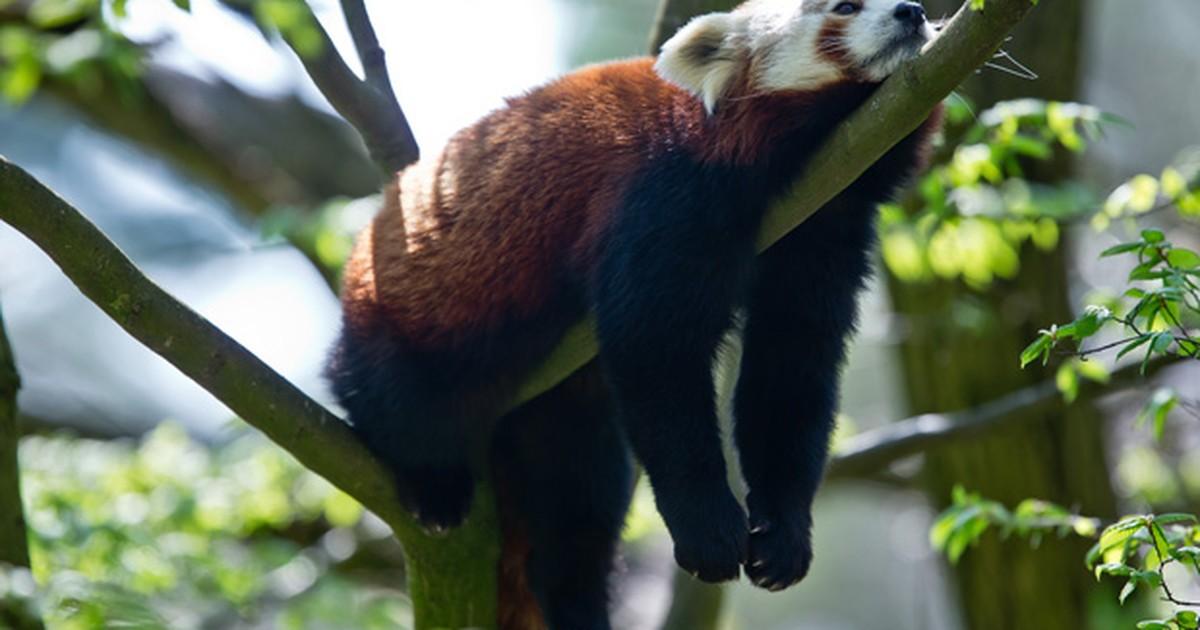 'Panda mais preguiçoso do zoo' descansa em galho na Alemanha