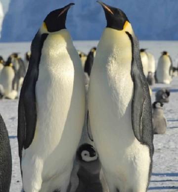 Pinguins-imperadores  (Foto: Gary Miller/Governo da Austrália)