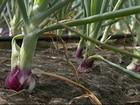 Excesso de chuva prejudica a produção de cebola em Cabrobó, PE