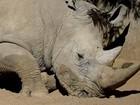 Justiça sul-africana autoriza comércio interno de chifre de rinoceronte