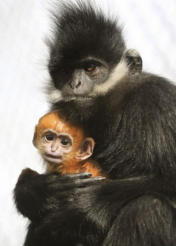 Macaco nasceu há cerca de três semanas no zoológico de Canterbury (Foto: Gareth Fuller/AP)