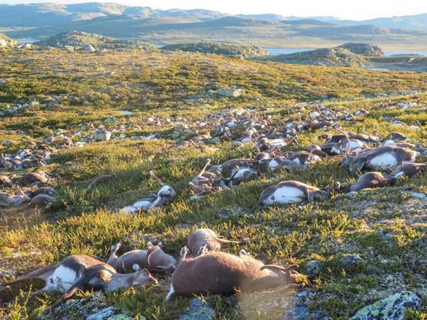 Raio matou 323 renas durante forte chuva que atingiu parque em Hardangervidda, na Noruega  (Foto: Haavard Kjontvedt / Norwegian Environment Agency / AFP)