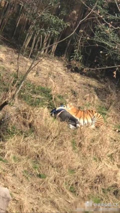 O tigre e a sua 'presa' no zoo chinês