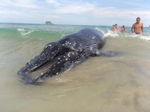 Filhote de baleia foi encontrado morto em Guarujá, SP (Foto: Arquivo Pessoal / Andrea Maranho)