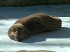 Lobo-marinho é encontrado fraco e abaixo do peso em Florianópolis
