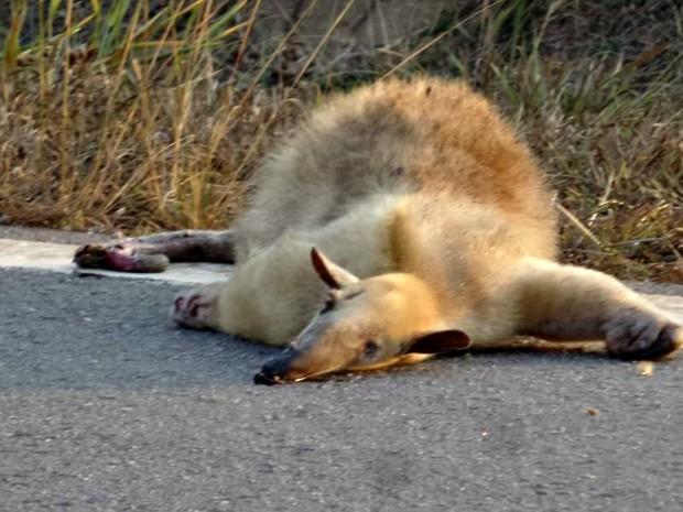 Animal foi atropelado em rodovia do Acre (Foto: Alexandre Anselmo/ Arquivo pessoal)