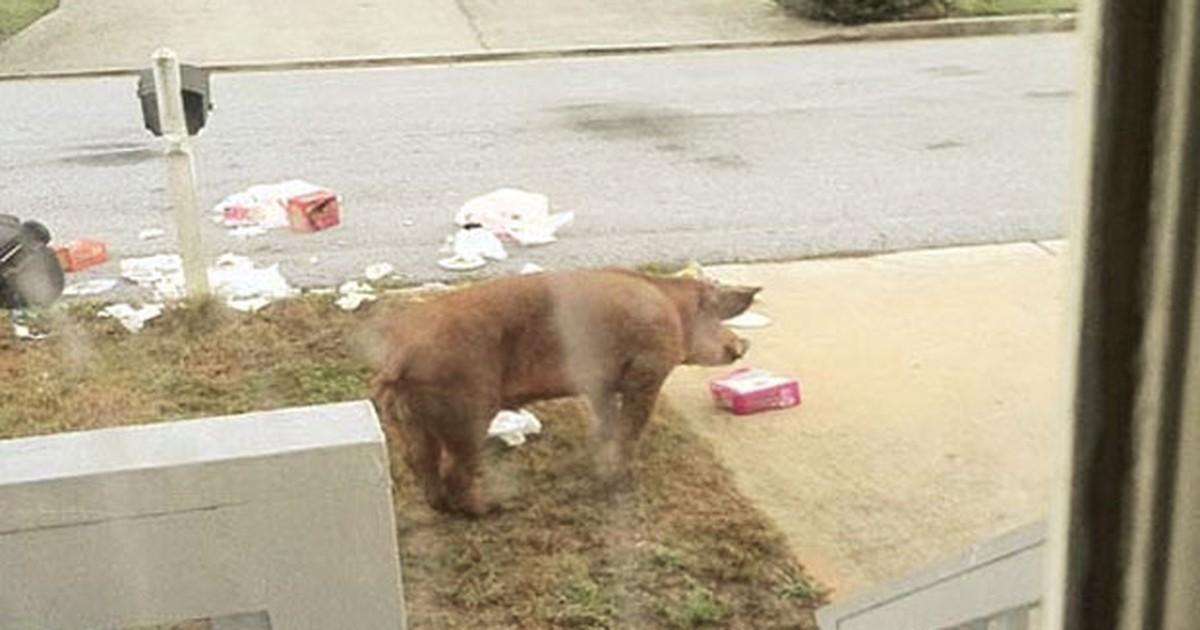 Porcos selvagens vasculham lixo e provocam medo em cidade nos EUA