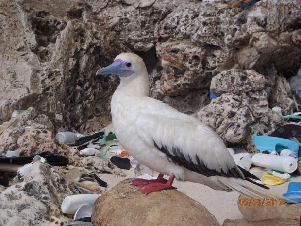 Atobá-de-pé-vermelho é fotografado na Ilha Christmas, da Australia; poluição dos oceanos está pondo em risco as aves marinhas (Foto: CSIRO/Divulgação)