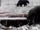 Ursos se divertem na neve em parque nos Estados Unidos