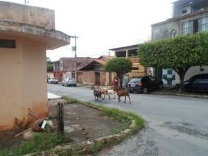 cabras no bairro de lourdes (Foto: Cida Santana/G1)