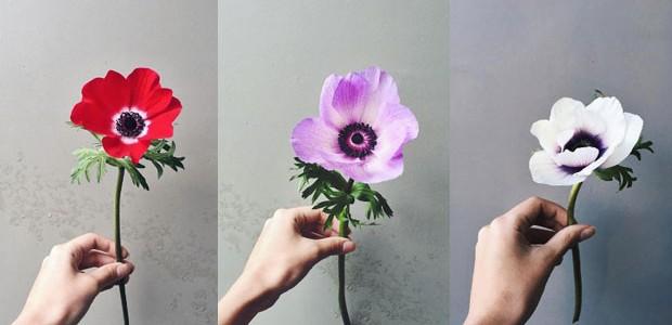 Anêmona: conheça a flor colorida e delicada de origem grega (Foto: Flo Atelier Botânico)