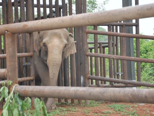 Elefanta Maia, ao ser devolvida à natureza em MT (Foto: Carolina Holland/G1)