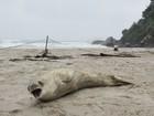 Morador encontra foca em praia de São Sebastião, litoral norte de SP