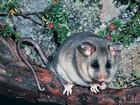 Austrália faz doação para proteger animal como presente a bebê real