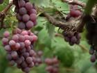 Produtor de MT usa alto-falantes para afastar pássaros de plantação de uva