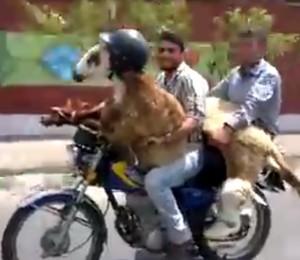 Cabra dirige moto nas ruas do Irã (Foto: reprodução)