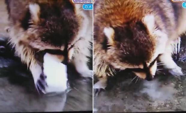 Guaxinim tem 'pior dia da vida' após algodão doce se dissolver em poça (Foto: Reprodução/Vine/つっちぃ)